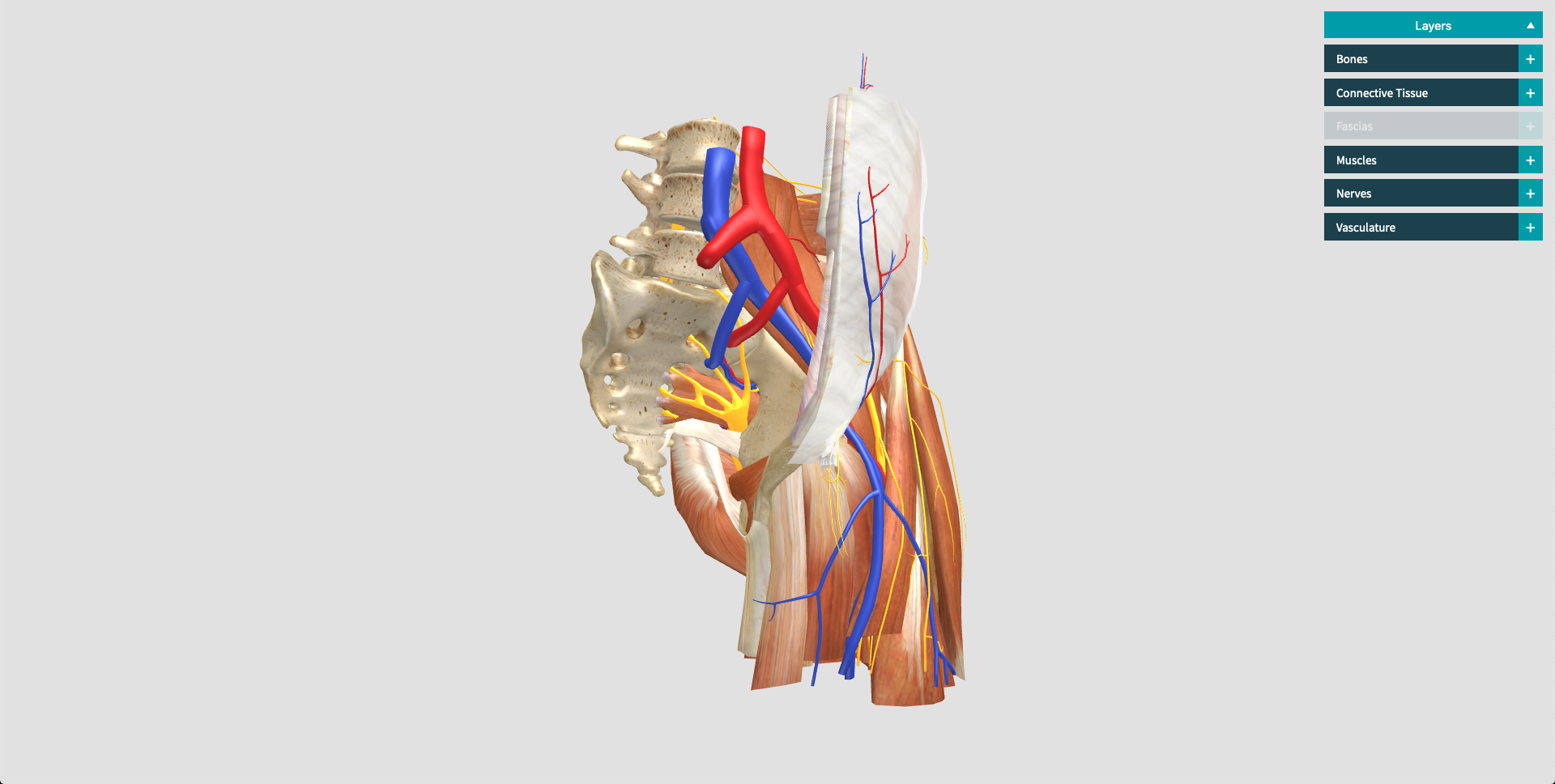 Anatomy of the hip 3D model with layers